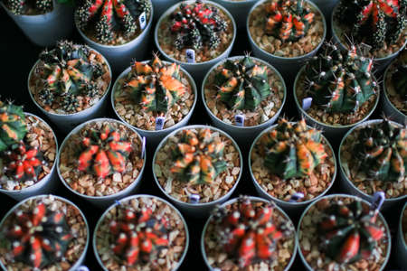Beautiful Colorful close-up group of of rare Gymnocalycium mihanovichii variegata cactus in earthen ware pot.View from the top in greenhouse.