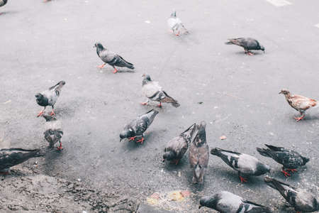 A group of hungry pigeons eating bread in the city street.Urban pigeons on the pavement find for bird food.