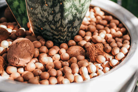 Expanded clay pebbles used as a growing media in hydroponics with sun light. Aloe vera plant in a pot with pebbles decoration at the garden.