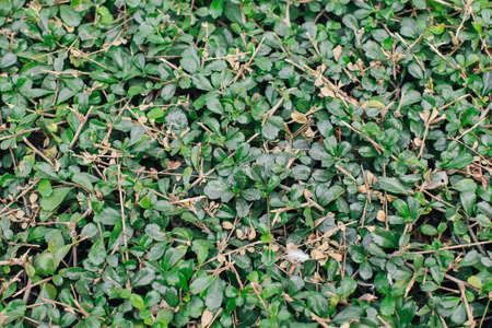 Fukien tea or Philippine tea (Carmona Retusa (Vahl) Masam) fresh green leaves in the tropical garden. 写真素材