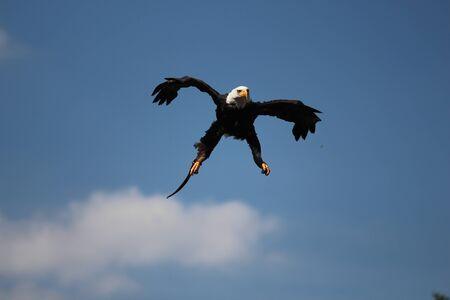 sea eagle: Sea Eagle