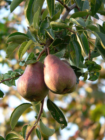 fruitage: Two pears