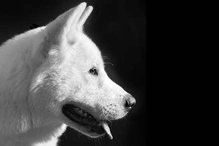 akita: White american akita head in white and black