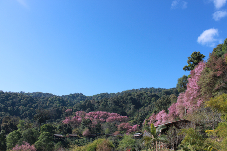 sakura in thailand photo