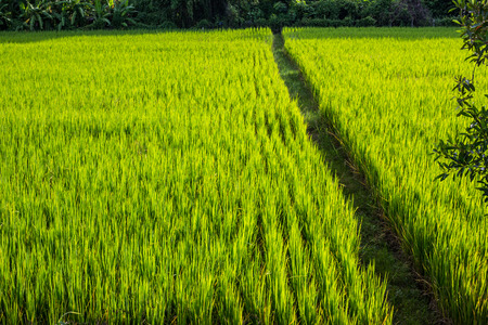 ricefield: Asian landscape with ricefield.
