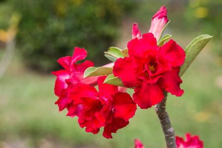 Desert rose or Ping Bignonia flower tree. photo