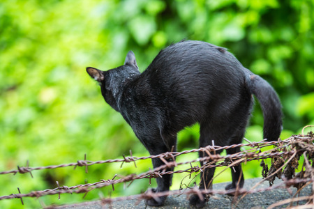 cat stretching: black cat stretching on barbed wire.
