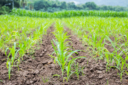 Green field with young corn. photo
