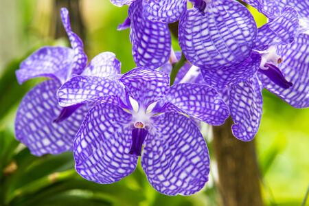 vanda: Orchid of blue vanda  Stock Photo