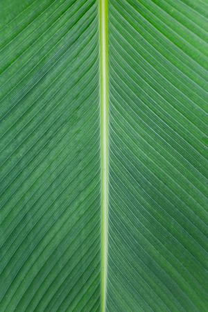 Close up of Tropical Green Leave Texture use as a Background. photo