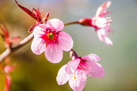 Beautiful flowering Japanese cherry - Sakura. Background with flowers on a spring day. photo