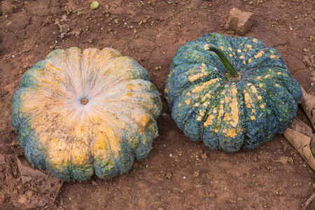 many ripe green pumpkin. photo