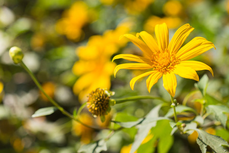 tree marigold: Close up of Tree marigold, Mexican tournesol, Mexican sunflower. Stock Photo