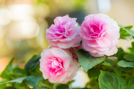 chinensis: Close-up of pink fairy rose blossom on the tree Stock Photo