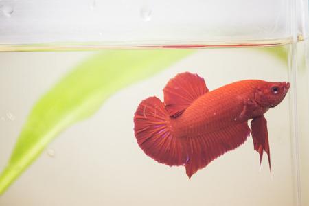 siamese fighting fish, betta splendens. photo