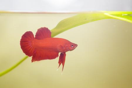 half moon tail: siamese fighting fish, betta splendens.
