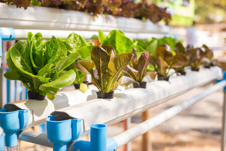 agriculture industrial: hydroponic vegetables.
