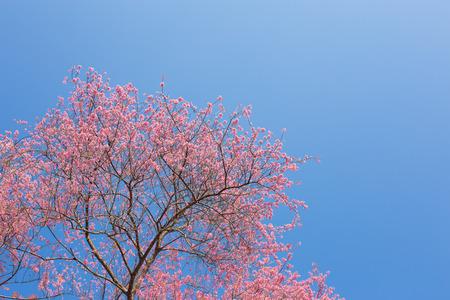 Chiangmai Thailand wild himalayan cherry prunus cerasoides like sakura in Doi-Khun-Wang photo