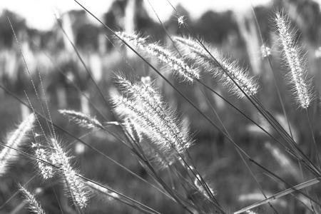 Ondiepe focus van zachte wilde grassen tegen een blauwe hemel op gouden gebied. Stockfoto