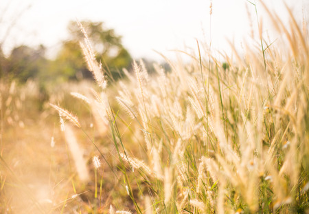 grass flower in the paddy field in morning sun rise, soft focus. photo