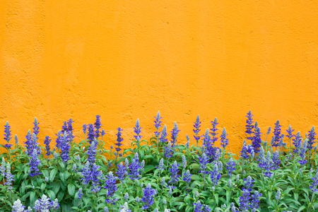 salvia: blue salvia,salvia flower on the yellow background.