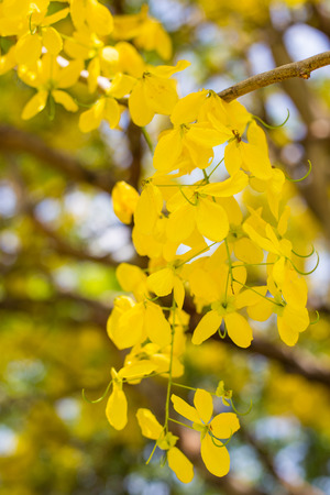 cassia: Golden shower flower, Cassia fistula