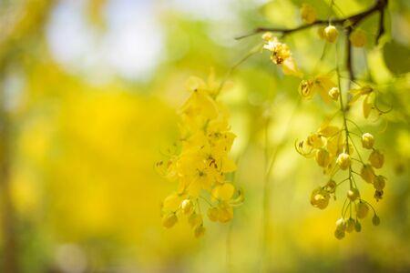fabaceae: Golden shower flower, Cassia fistula