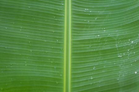 bionics: Banana leaf with water drops Stock Photo