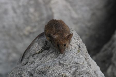 a mouse of Amalfi