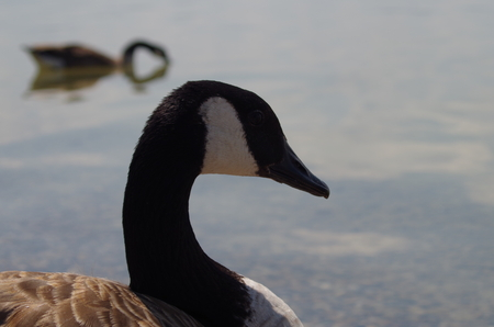goose head: Greylag head