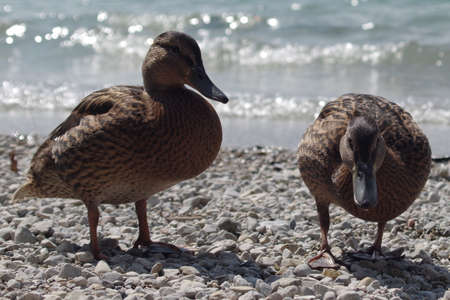 two animals: Two duck lake Animals