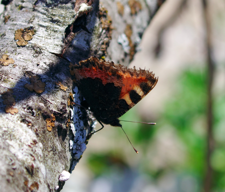 admiral: Admiral butterfly on an old tree on the Isar Stock Photo