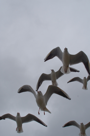 flying float: Group Seagulls in flight