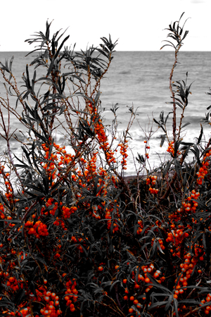 Panoramic picture of sea buckthorn on the Baltic Sea
