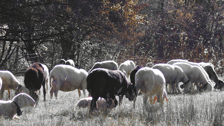 ingestion: Sheep herd grazing in autumn landscape