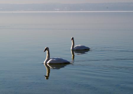 Two swans on Lake Starnberg in winter Stock Photo