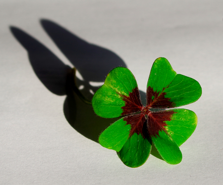 four-leaf clover with shadow in the form of butterfly