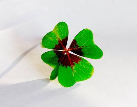 four-leaf clover on white ground