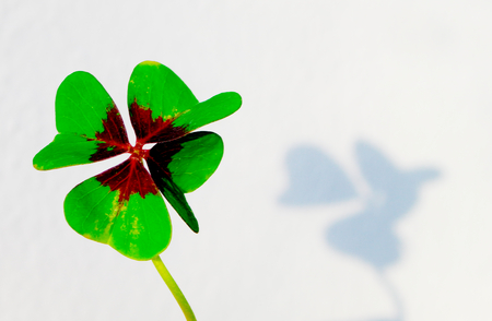 four-leaf clover with shadow before whiteground