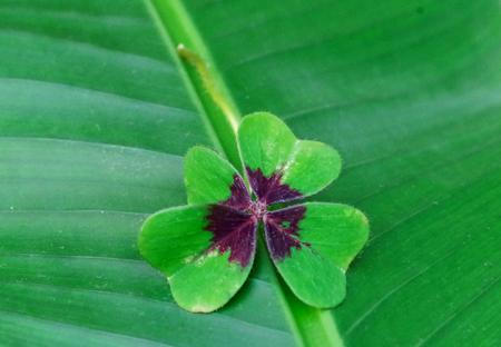 four-leaf clover on banana leaf Stock Photo