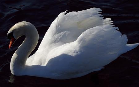 gracefully: Swan Stock Photo