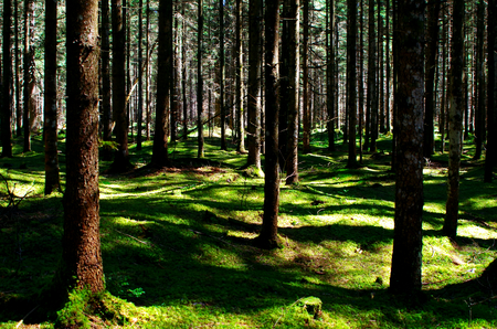 Coniferous forest in Bavaria on Barmsee Stock Photo