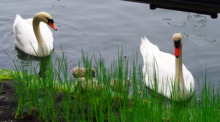 pollitos: Familia de los cisnes con los polluelos
