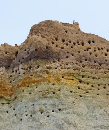 Burrows of a Tern colony on a steep coast of the Baltic Sea
