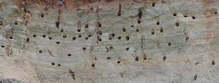 Landscpae d & # 39 ; une colonie de sternes sur une côte escarpée de la mer baltique Banque d'images - 82984219