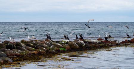 Aalscholvers aan de Oostzee