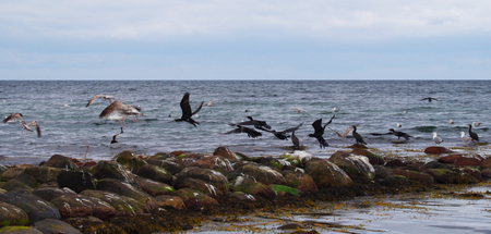 Flying cormorants on the Baltic Sea