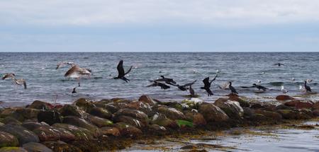 Vliegende aalscholvers aan de Oostzee Stockfoto - 83005787
