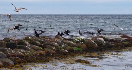 Vliegende aalscholvers aan de Oostzee Stockfoto