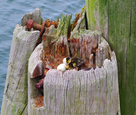 Nest of a duck with eggs and duckling in an old hollow trunk at the port of Eckernförde on the Baltic Sea Stock Photo